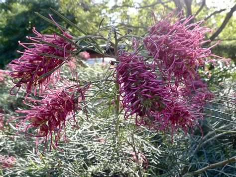 Grevillea 'Billy Bonkers'   Gardening With Angus