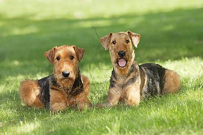 Airedale Terrier Dog Breed Information and Pictures - Dog
